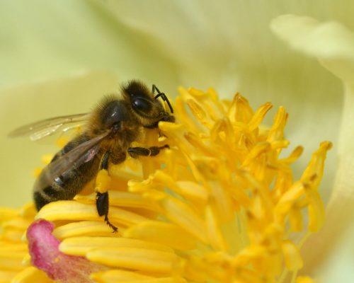 honey bee on Paeonia mlokosewitschii (1)